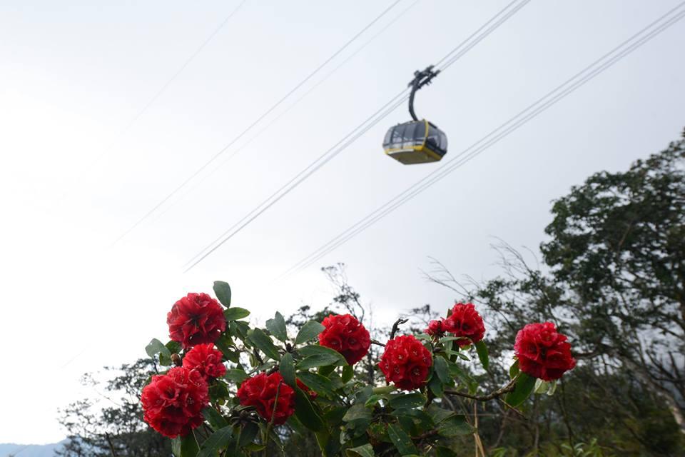 Hoa đỗ Quyên Sapa đỏ