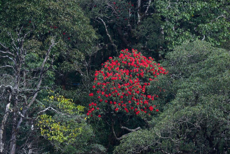 Hoa Do Quyen Sapa