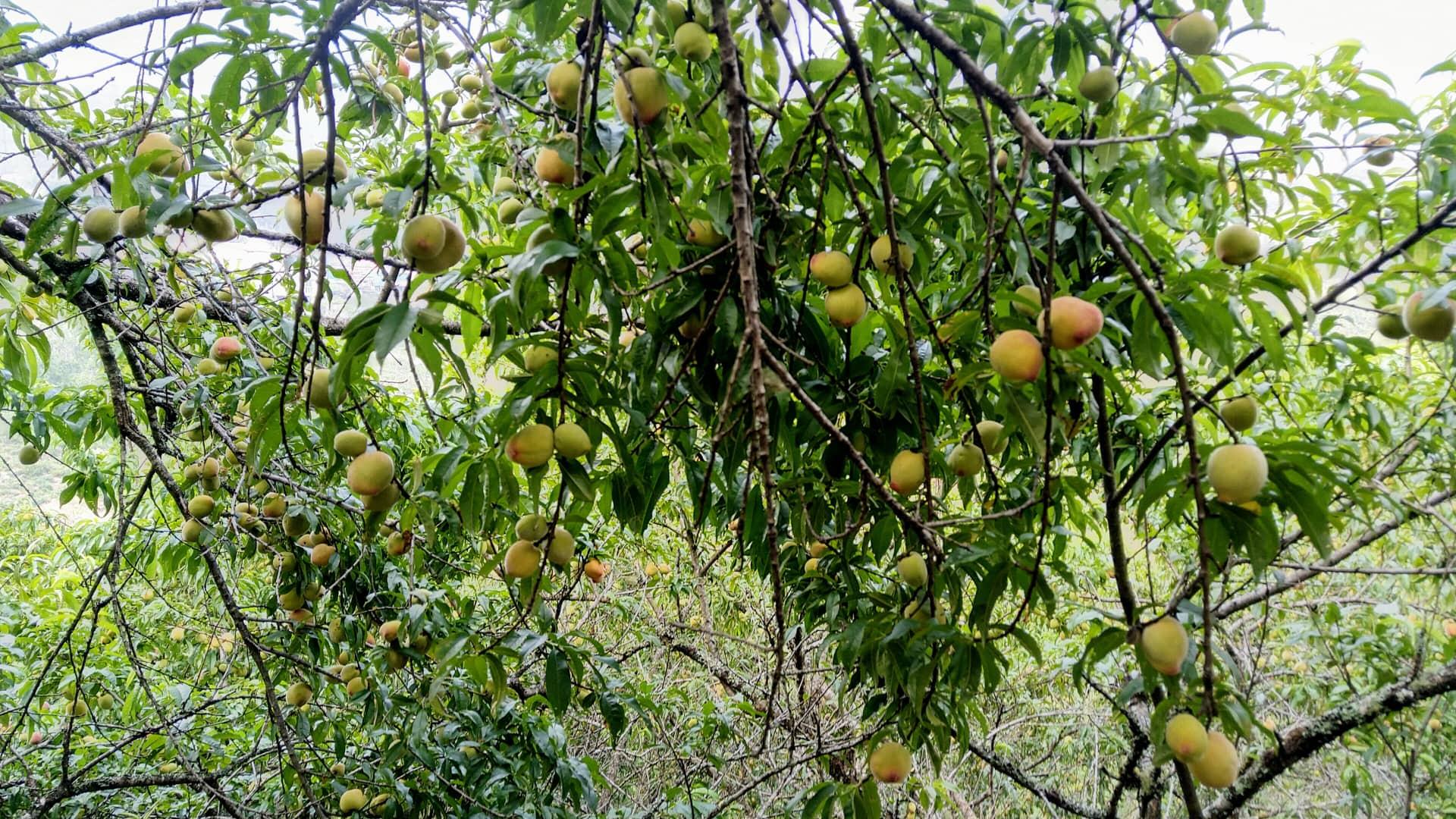 hoa quả đặc sản sapa