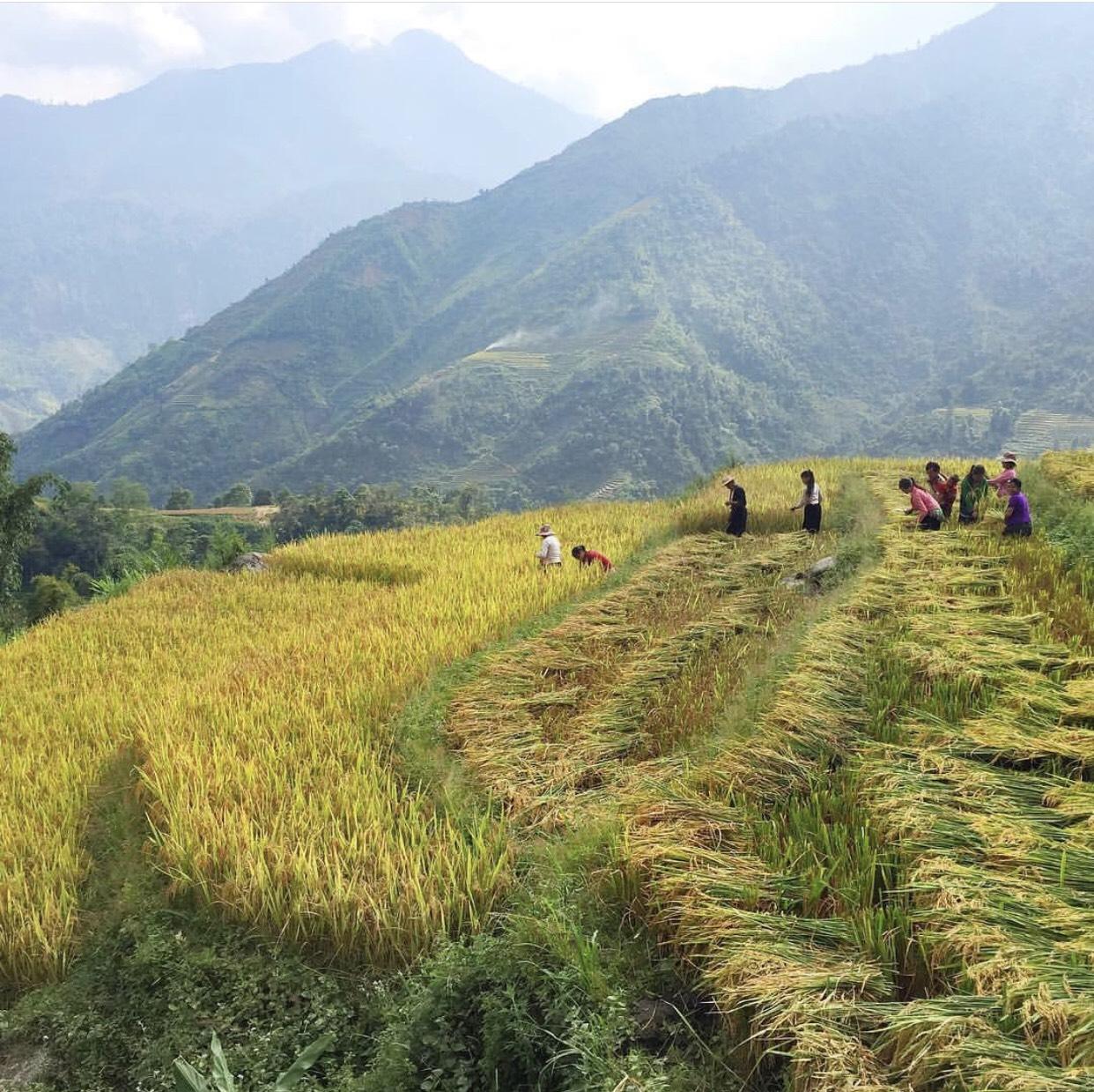 Mua Lua Chin Sapa La Thang May (2)