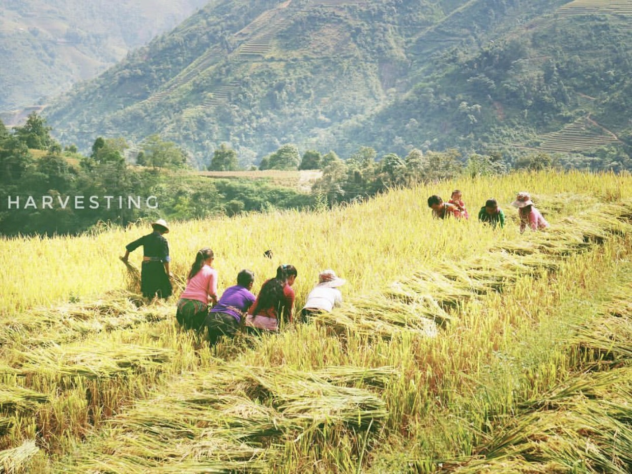 Mua Lua Chin Sapa La Thang May (5)