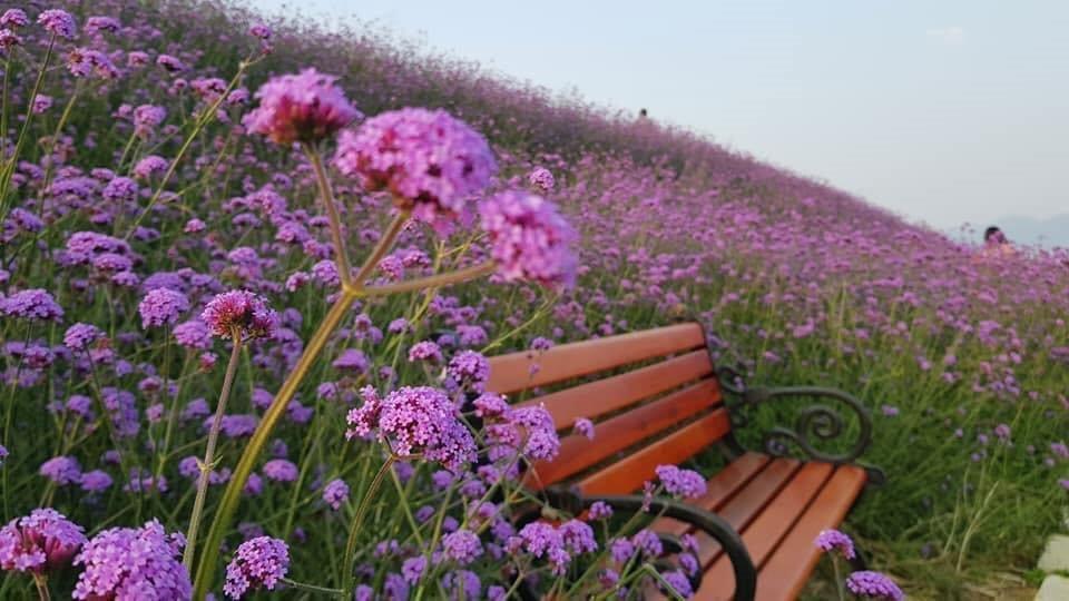 đồi hoa tím Sapa