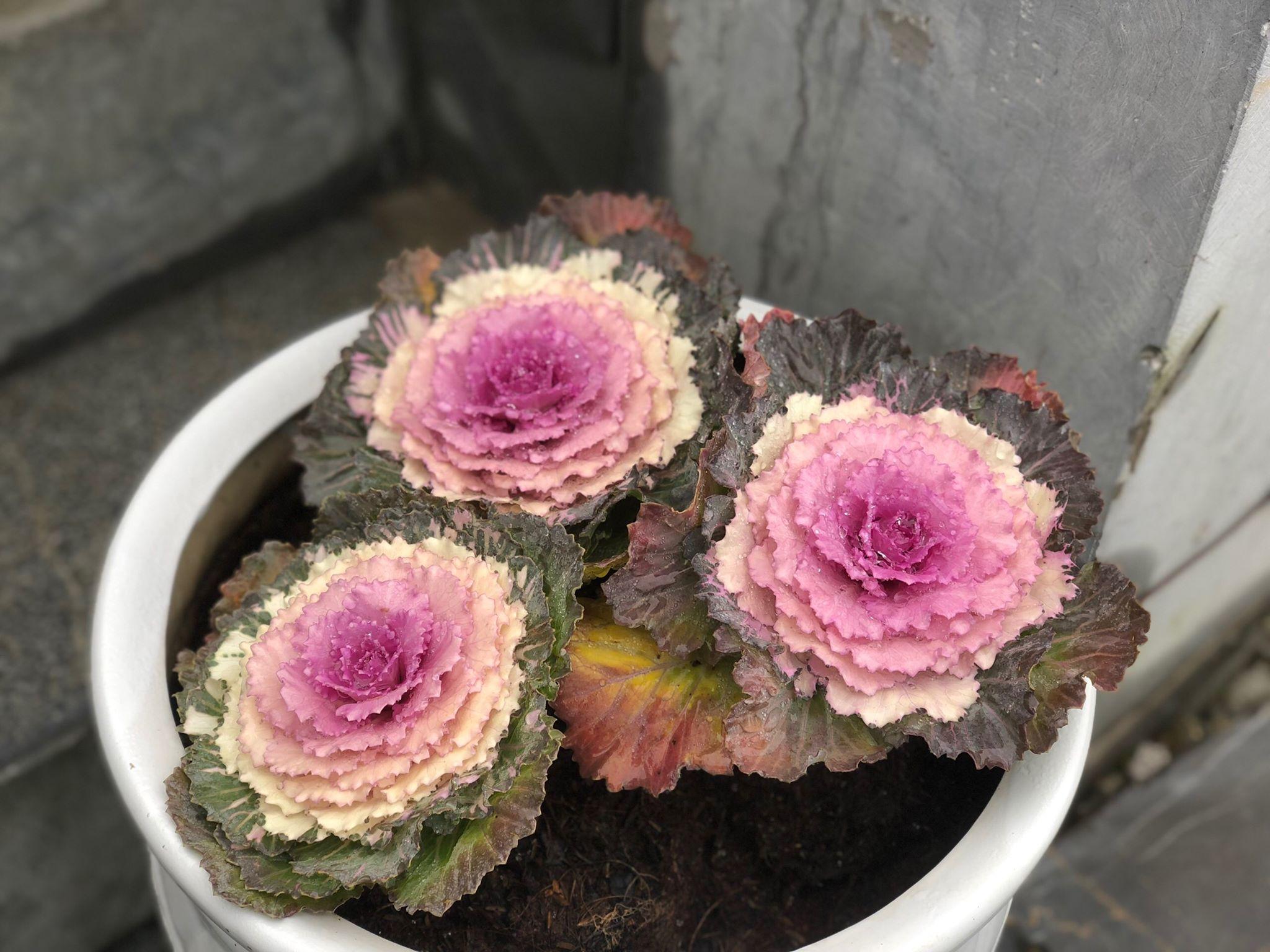 Tháng 12 Sapa Có Hoa Gì đẹp (3)